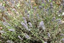 Lavendel_4530 1