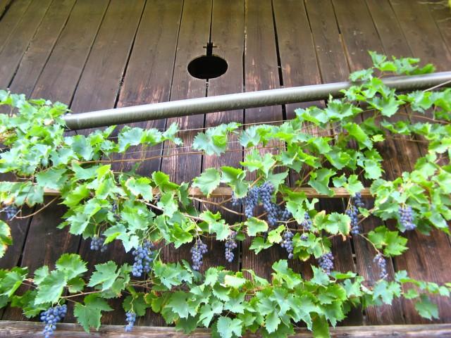 Tafelweintrauben