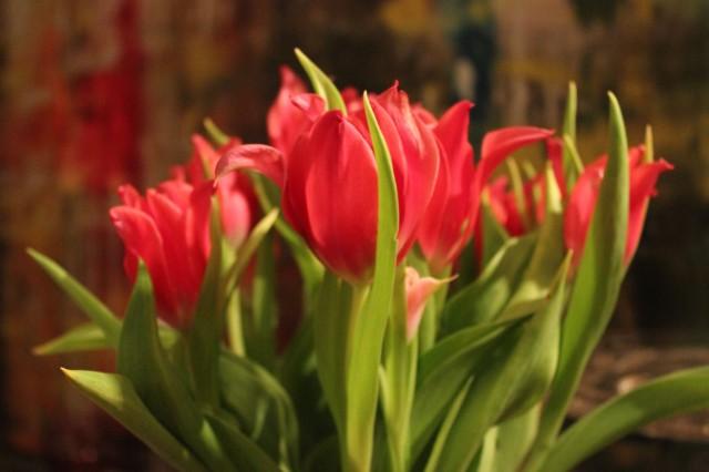 Tulpen_2966