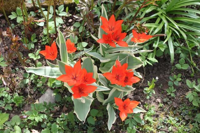 Tulpen_5972