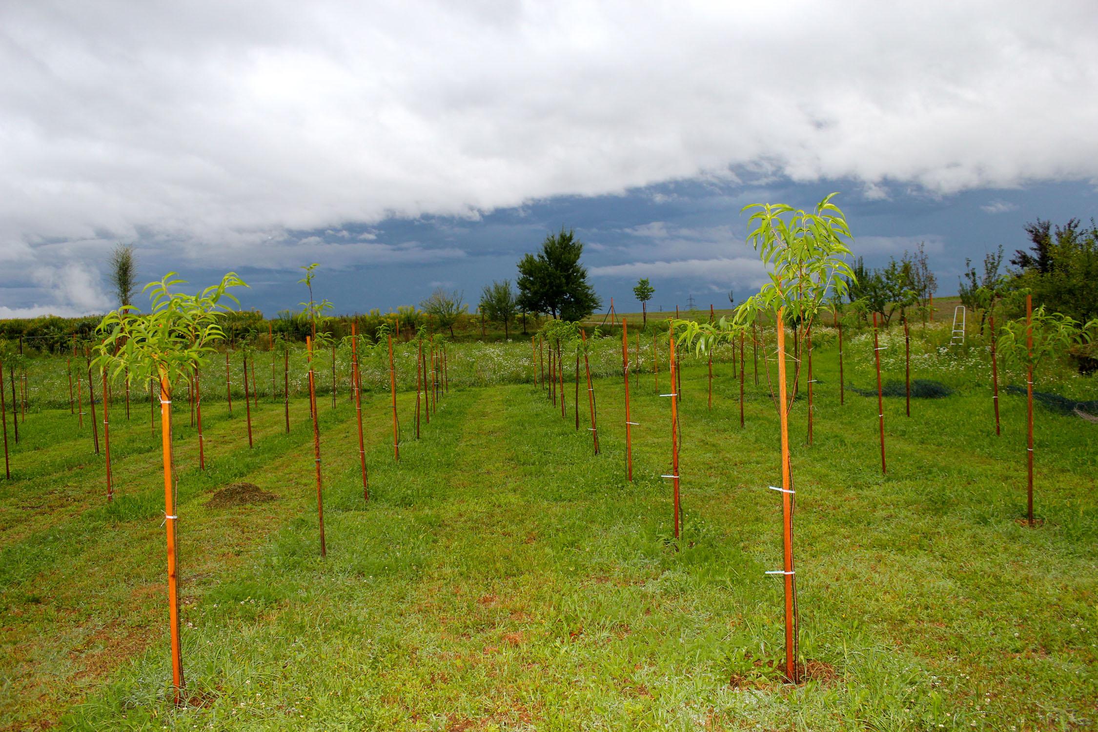 Weingartenpfirsichplantage_8005