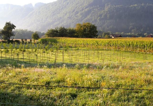 Weingartenpfirsichplantage_8063