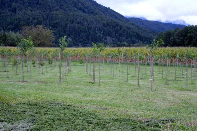Weingartenpfirsichplantage_8157