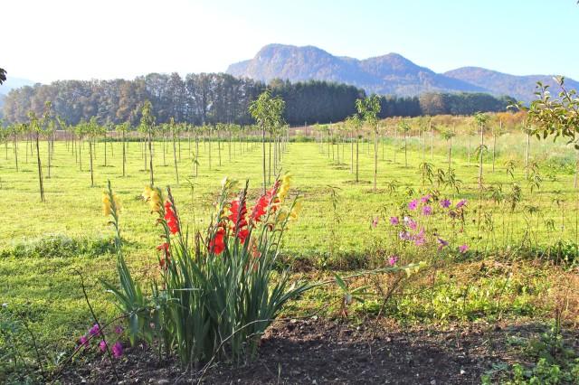 Weingartenpfirsichplantage_8238