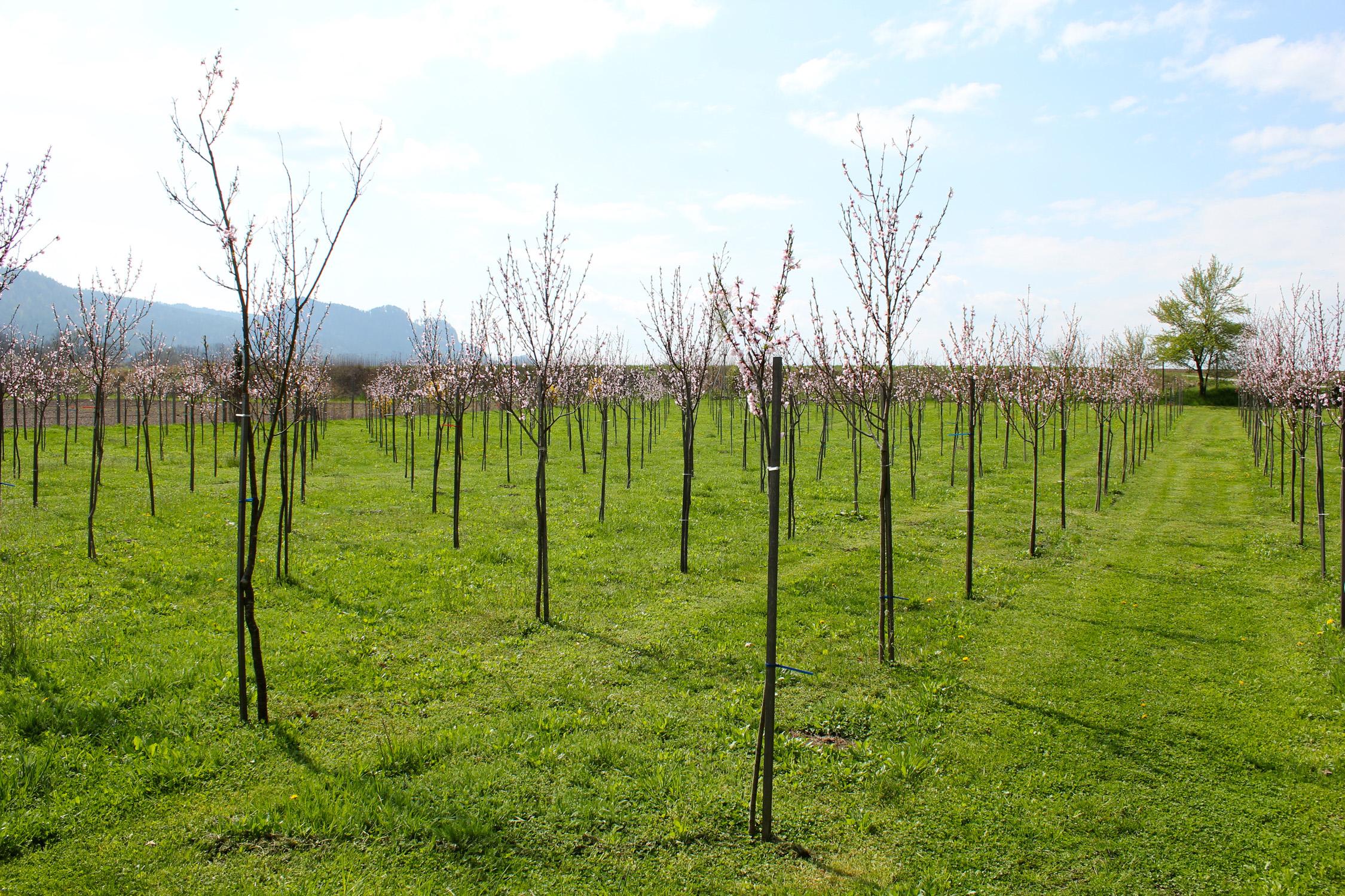 Weingartenpfirsich_0069