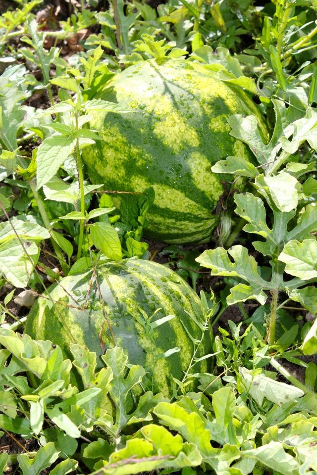 Wassermelonen_0911