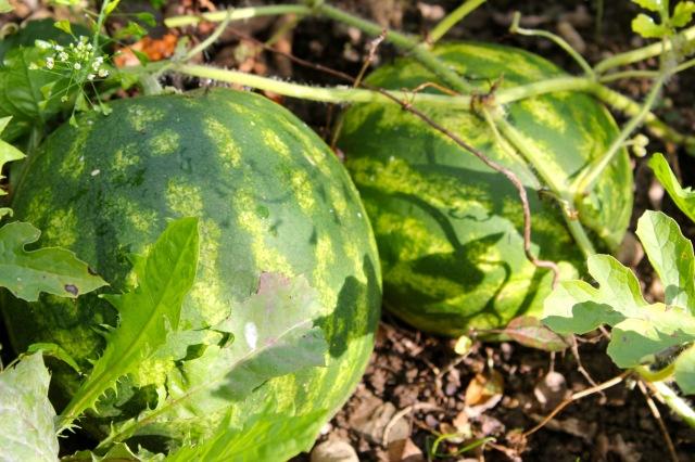 Wassermelonen_0913