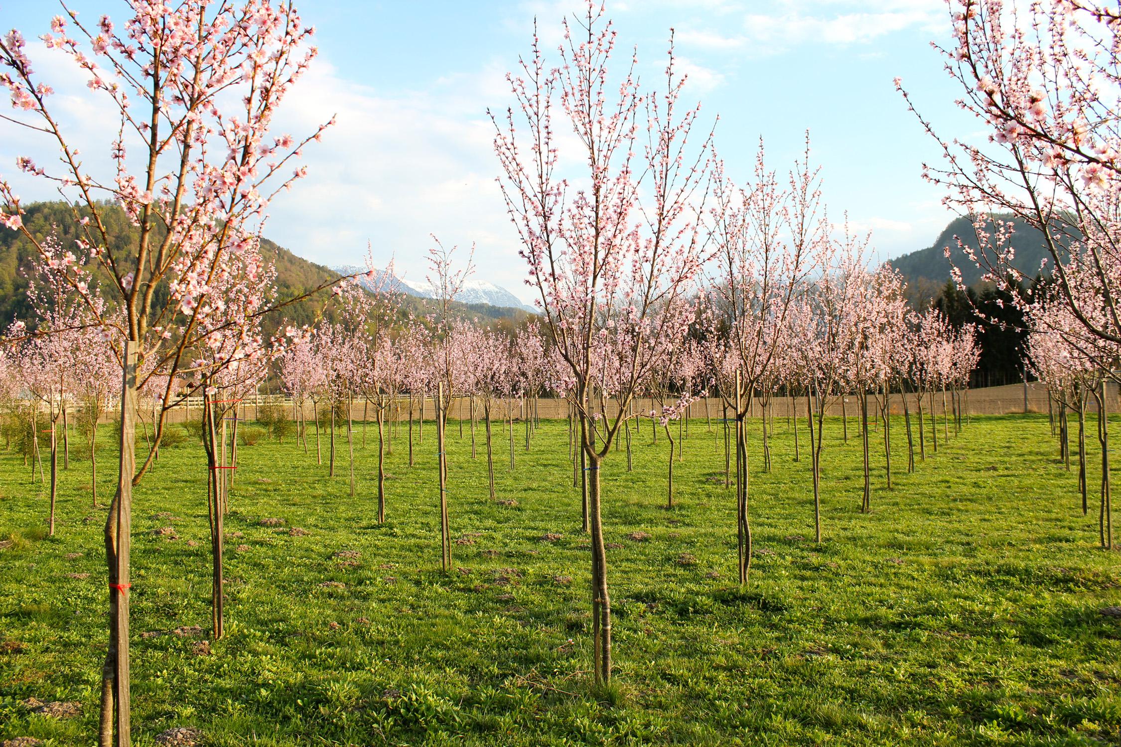 Weingartenpfirsichblüte_1544 1