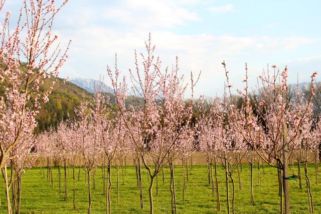 Weingartenpfirsichblüte_1552 1