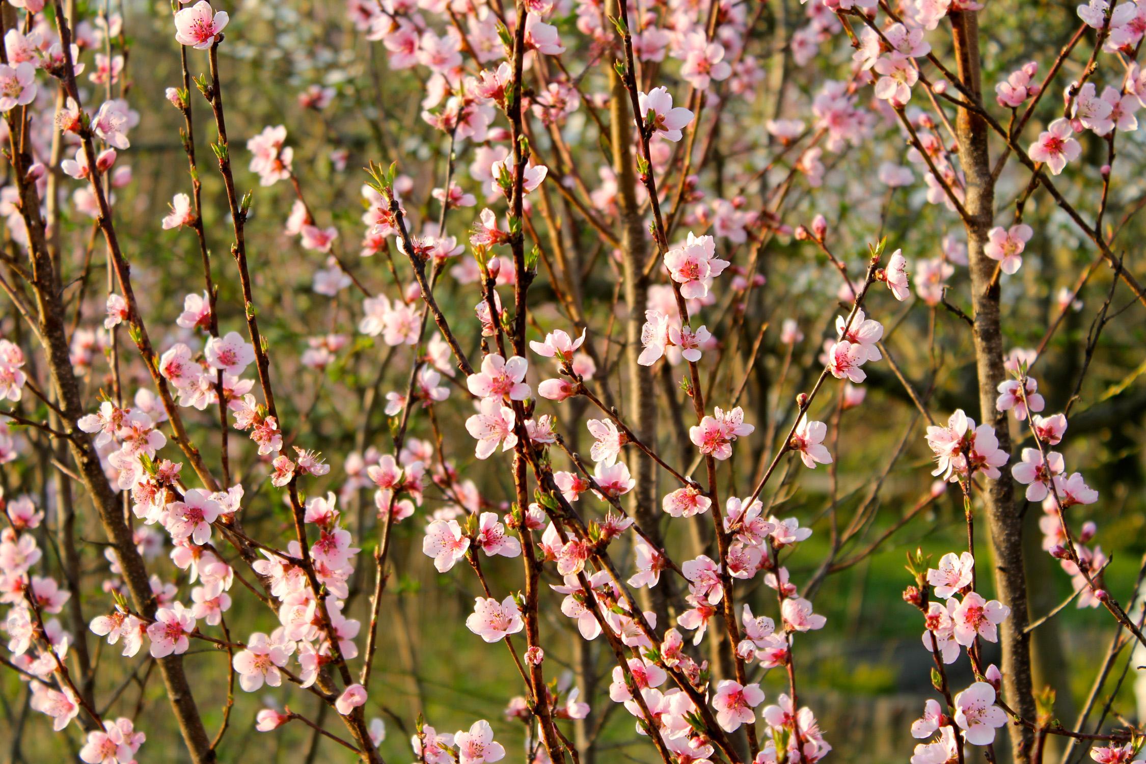 Weingartenpfirsichblüte_1566
